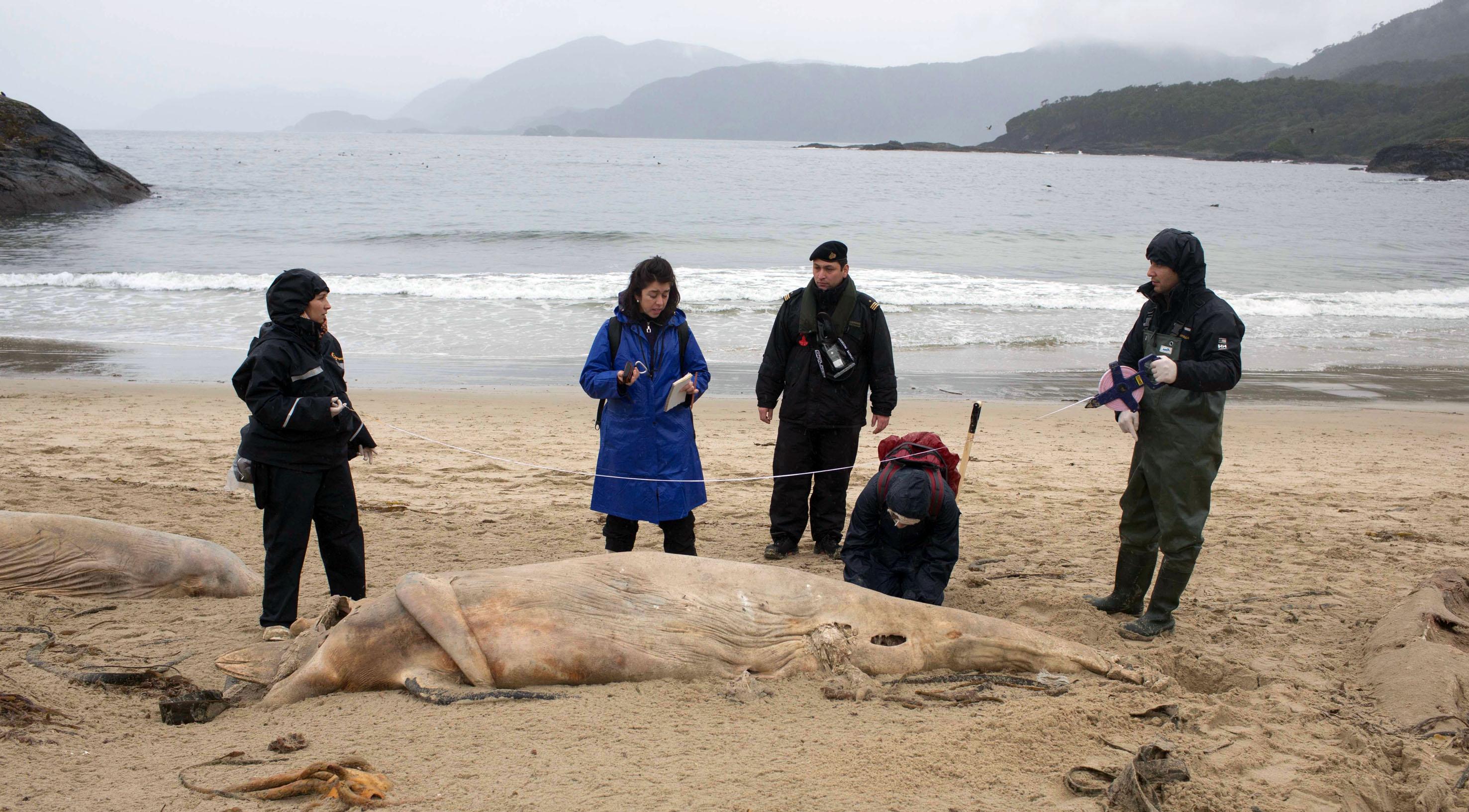 Investigan masiva varazón de delfines en Isla San Clemente.