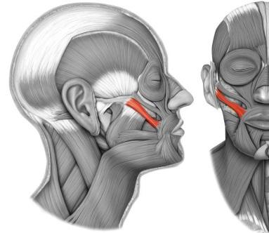 Músculo que influiría en la formación de margaritas