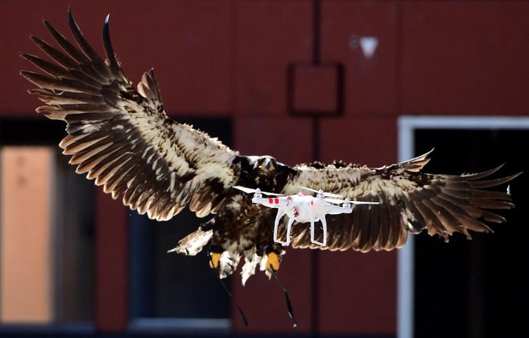 Águilas cazan drones en Holanda