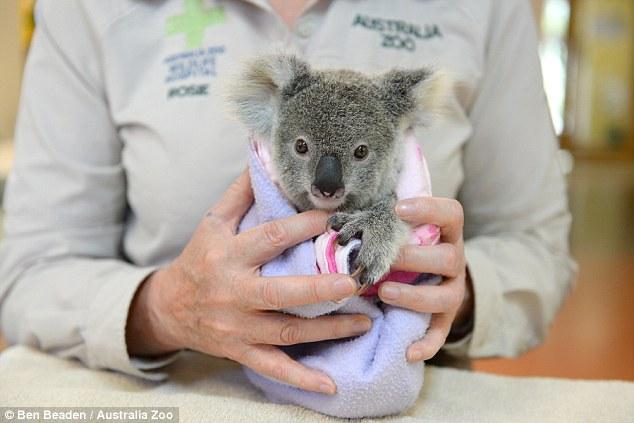 Este koala bebé adoptó un peluche como su madre