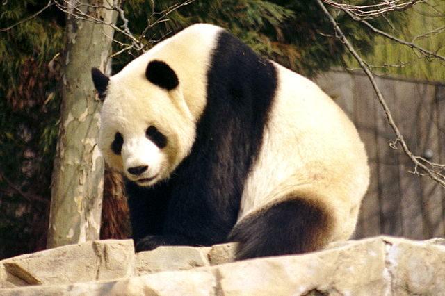 640px-Giant_Panda_2004-03-2