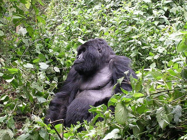 Gorilla beringei está en peligro de extinciòn