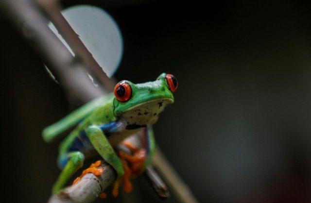 Ranas de ojos rojos amenazadas por cambio climático  | AFP