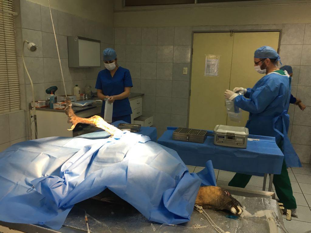 Cirugía a cóndor herido en Cabildo