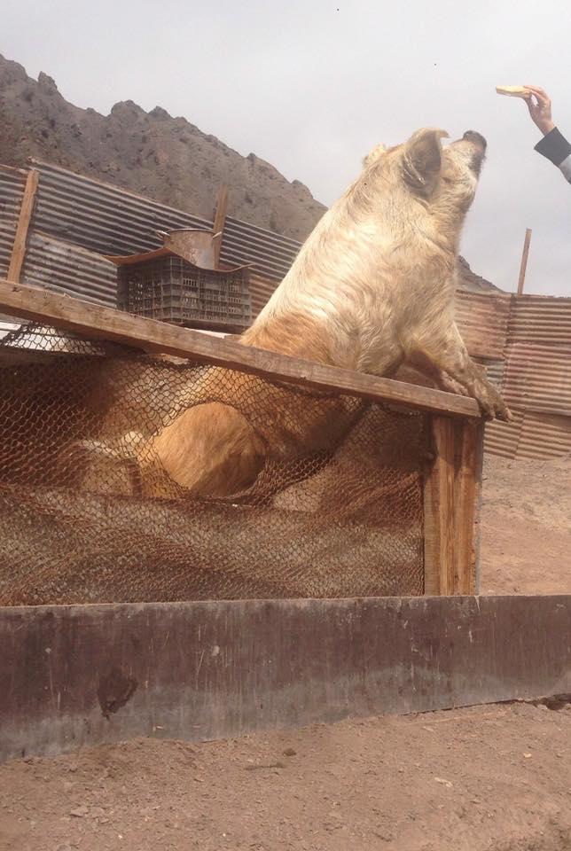 Cerdito se salva de la parrilla en Antofagasta