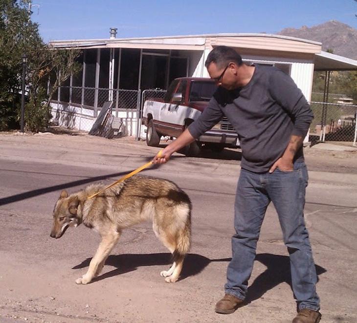 "Joven adoptó a un ""perro"" y luego notó que se comportaba extraño: era un lobo"
