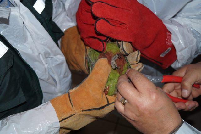 SAG | Anillado de loros en Talca