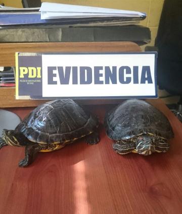 Dos de las tortugas robadas fueron recuperadas por la PDI.