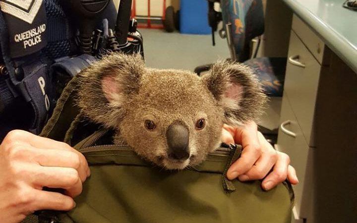 Policía australiana arresta a mujer y hace insólito hallazgo en su cartera: llevaba koala