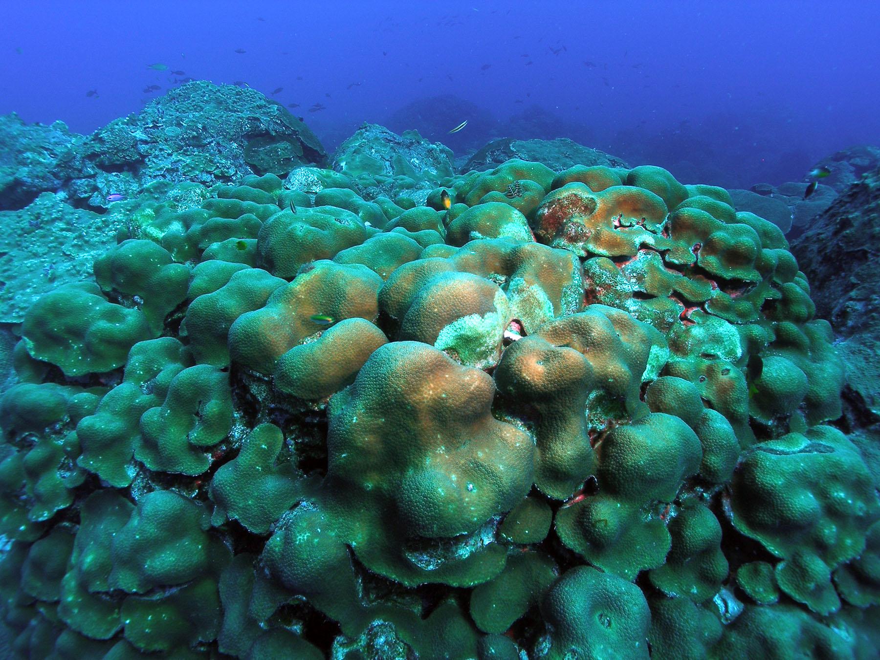 Coral Orbicella | NOAA