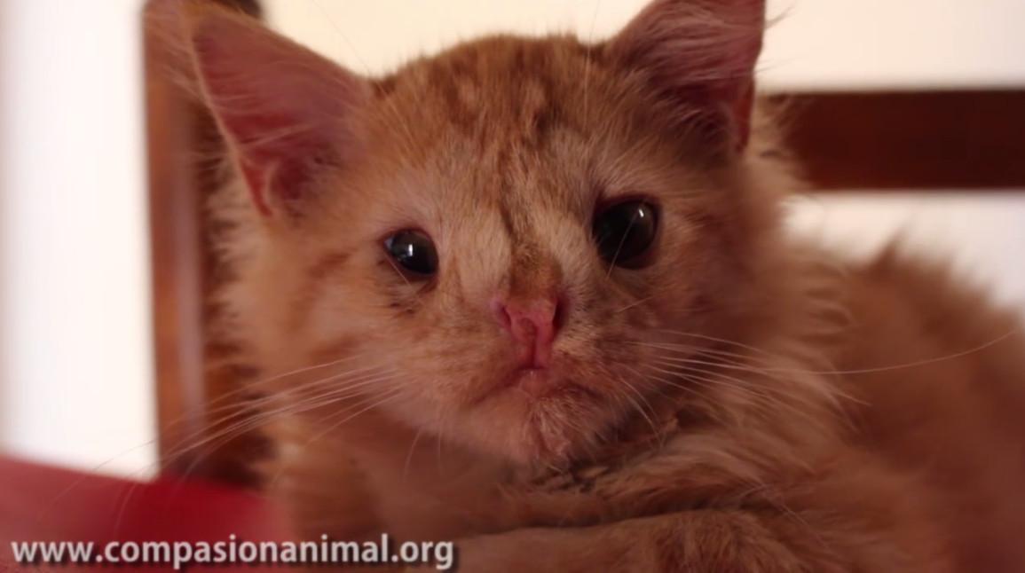 """Gatito con malformación al que nadie quería adoptar por """"feo"""" por fin encontró un hogar"""