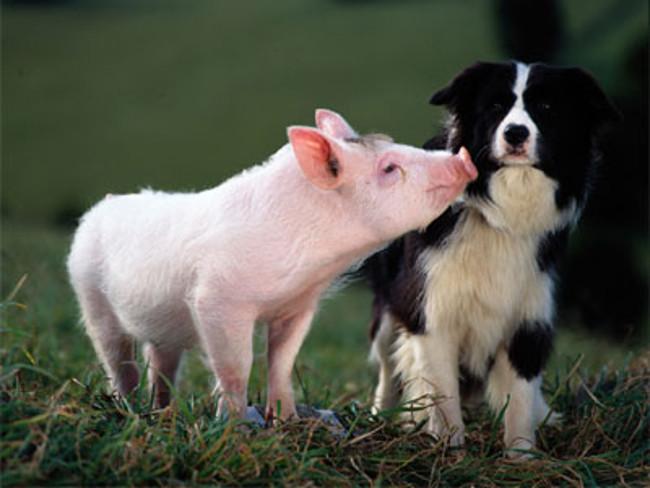 Perro y cerdo