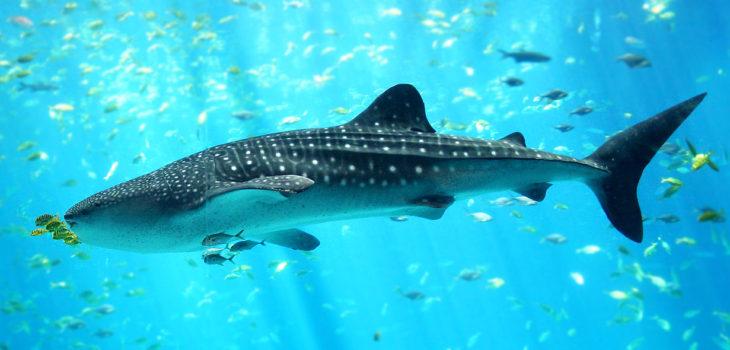 Tiburón Ballena | cc | Wikipedia |