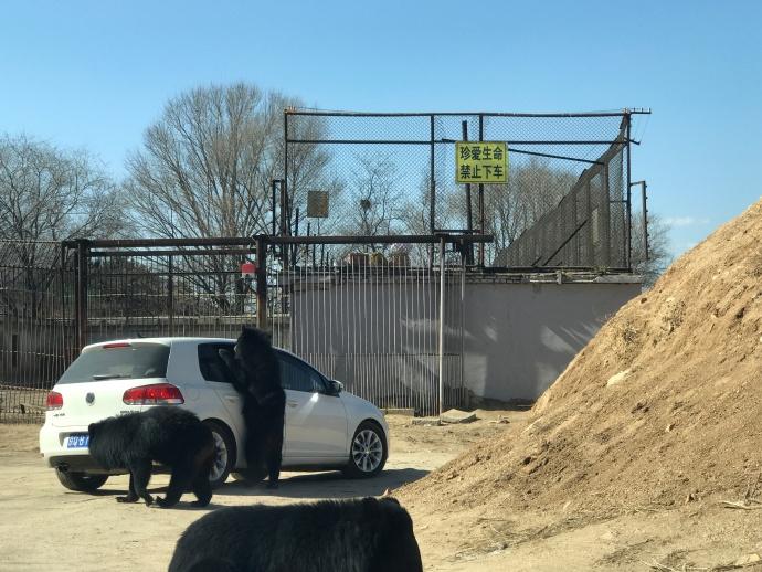 Oso ataca auto en polémico zoológico chino donde se puede conducir junto a animales