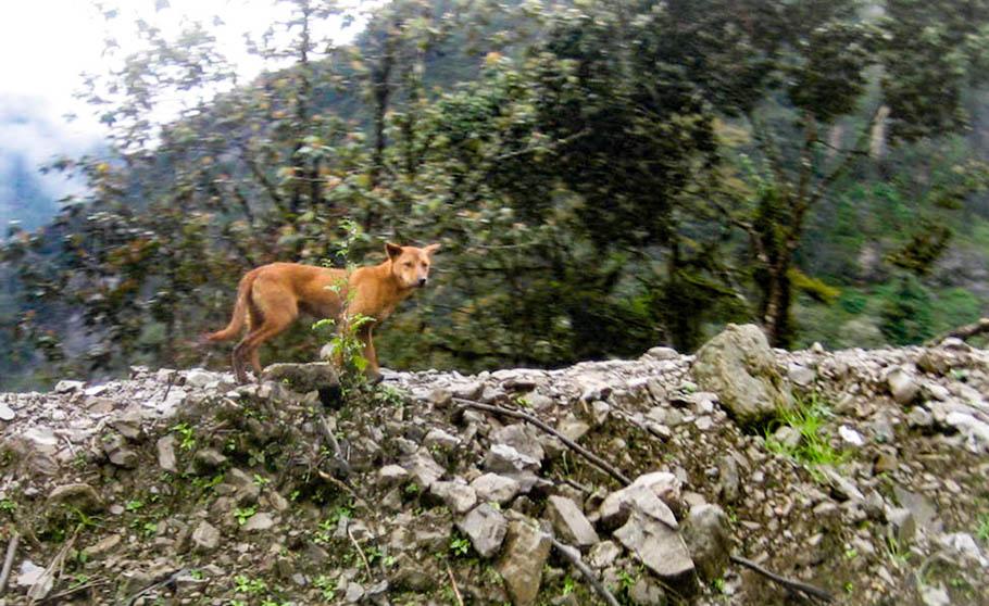 Aparecen perros salvajes que se creían extintos en Nueva Guinea