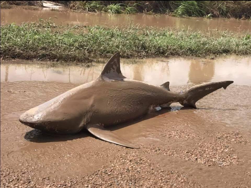 Ciclón bota tiburón en medio de carretera en Australia