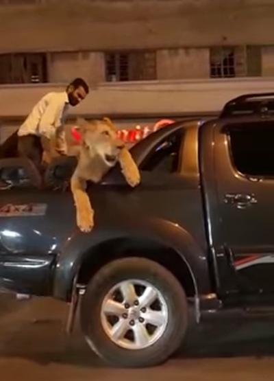 Leona es transportada por las calles de Pakistán | Youtube