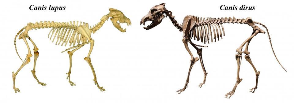 Esqueleto de lobo gris moderno (izquierda) versus lobo gigante o dire wolf (derecha)   www.forbes.com