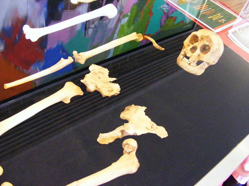 Restos de un Homo floresiensis   Ray en Wikimedia Commons