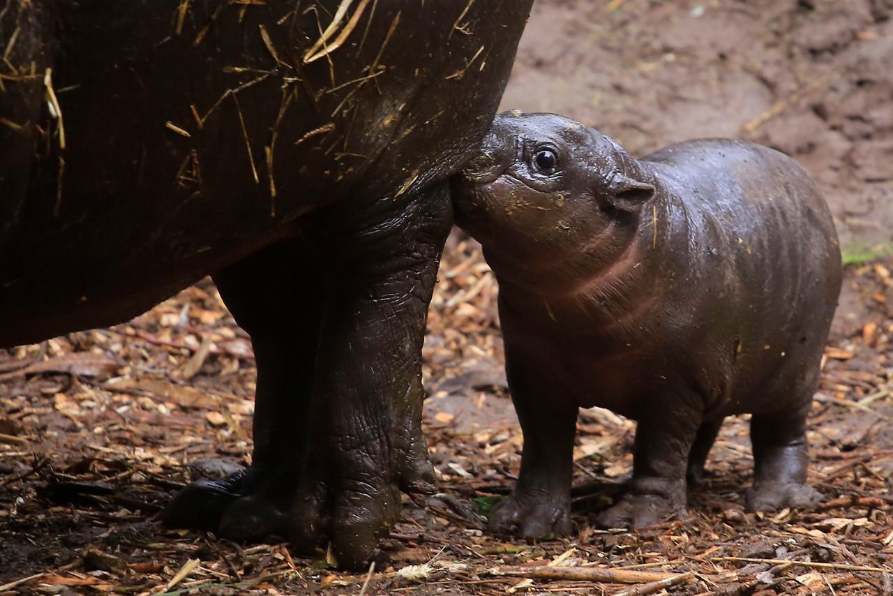 Buin Zoo presenta a nueva cría de hipopótamo pigmeo