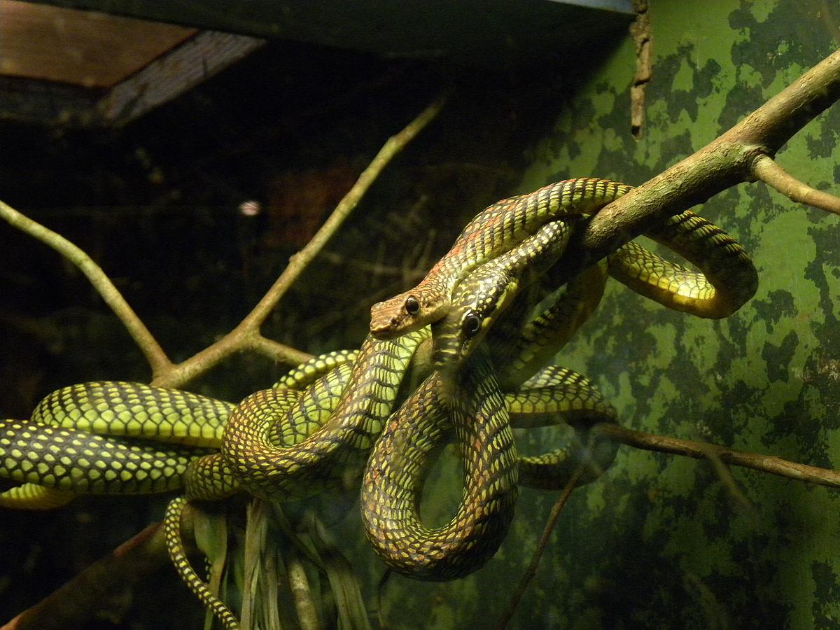 Serpientes voladoras  de la especie Chrysopelea paradisi | Alan Couch (cc)