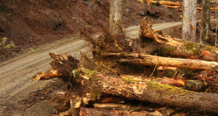 Justicia ordena medidas paliativas tras denuncia de tala ilegal de bosque nativo en Pucón