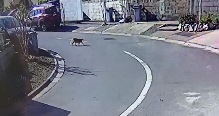 La Florida pide a vecinos cerrar sus puertas y entrar mascotas por presencia de puma