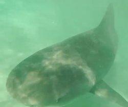 Un drone registra momento exacto que decenas de tiburones devoran a una ballena