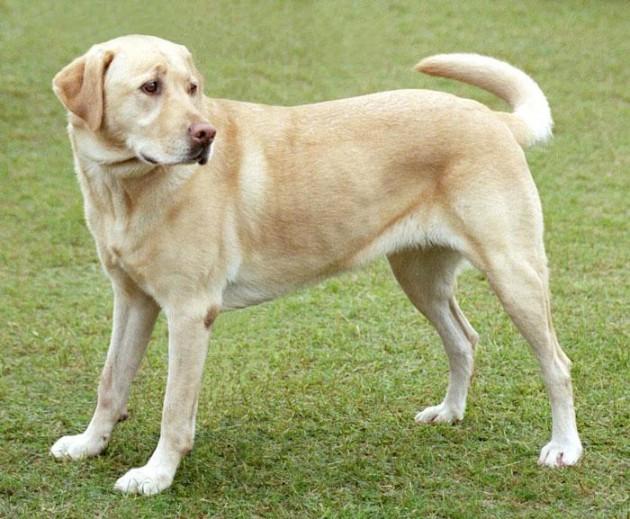 Labrador | Wikipedia