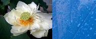 Pintura impermeable y Flor de Loto | Wikipedia