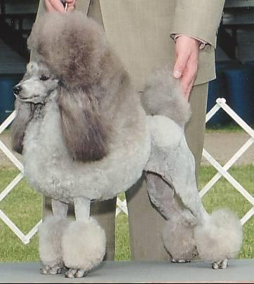 Poodle | Wikipedia