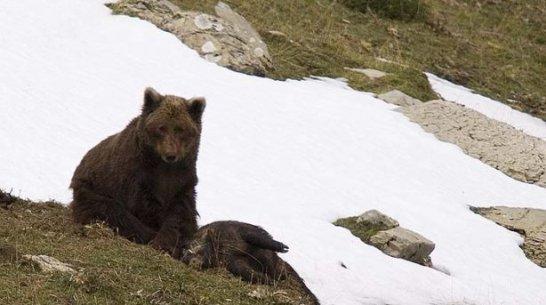 El último oso de los Pirineos | 20Minutos.es