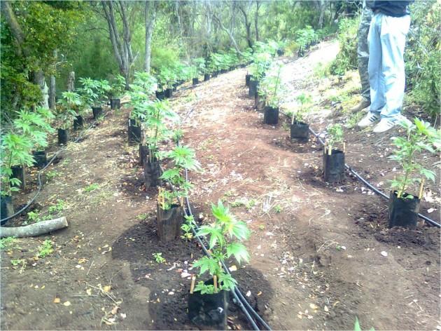 Plantación en La Ligua
