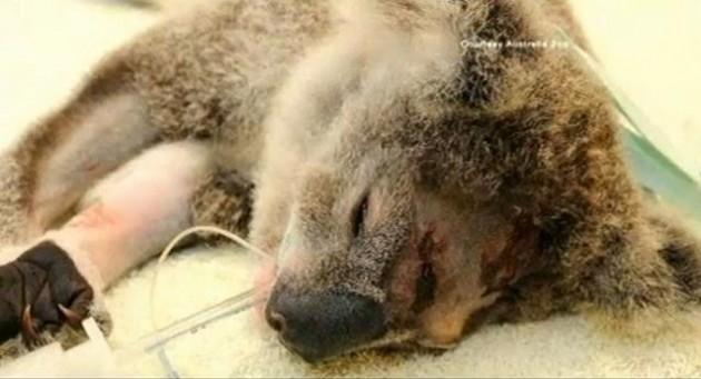 Koala agredido   ABC