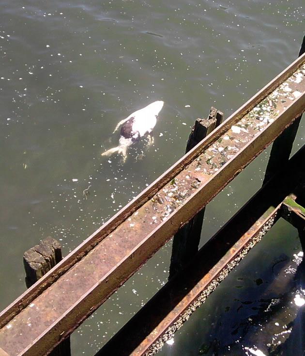Lobo marino muerto en Costanera de Puerto Montt | Adolfo Escobar Carvallo