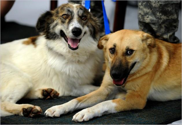 Rufus junto a Target, a la derecha, perros héroes de Afganistán | NYT