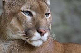 Puma Concolor | Wikimedia Commons