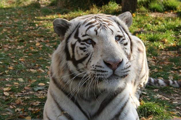 Tigre blanco | Wikipedia