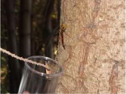 Insecto Megarhyssa nortoni
