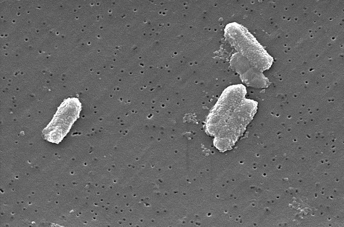 Enterobacteria | Kookaburra (CC)