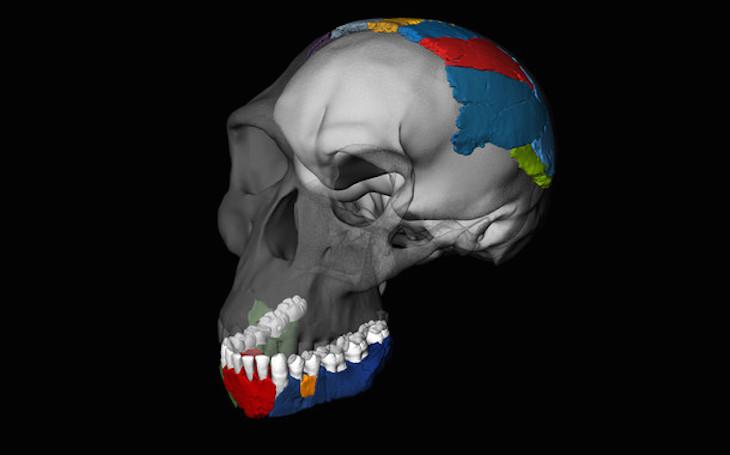 Reconstrucción 3D del cráneo de un Homo habilis a partir de los fósiles de la garganta de Olduvai