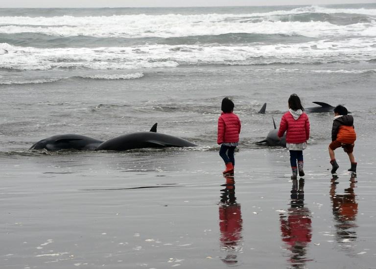 Varamiento de delfines en Japón   Toshifumi Kitamura   AFP