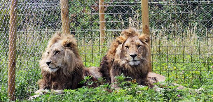[Imagen: leones_zoologico_los_angeles.jpg]