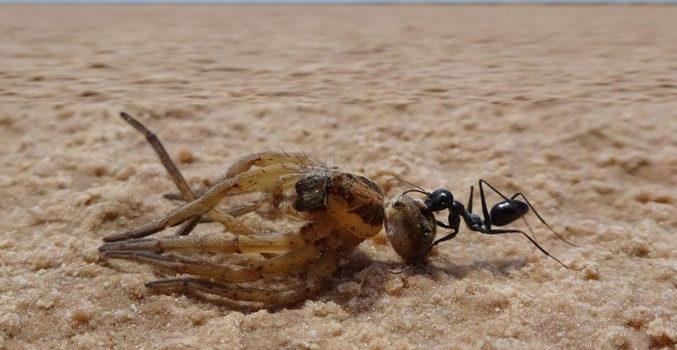 La hormiga del desierto (Cataglyphis fortis)    Matthias Wittlinge