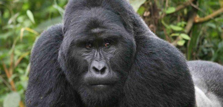 Gorila de la Montaña (Gorilla beringei beringei)