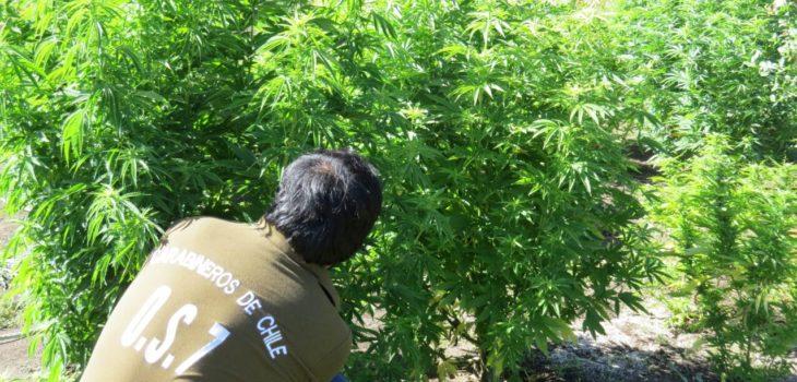 Marihuana en Monteaguila | OS7