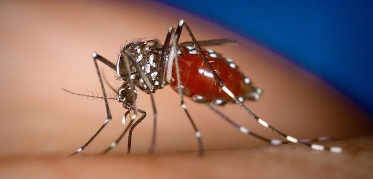 Aedes aegypti (cc) / Flickr
