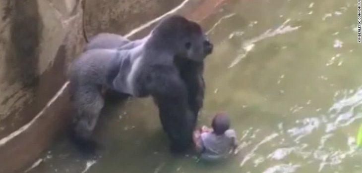 Gorila Harambe con el niño de 3 años que cayó en su recinto   Youtube