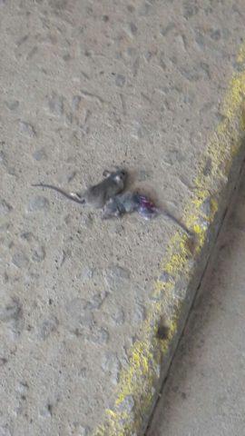 Ratones encontrados en la escuela | Pedro Cid (RBB)