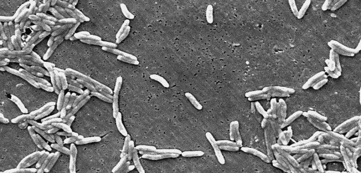 Así luce las Campylobacter | Wikimedia Commons (cc)
